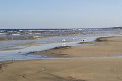zeemeeuwen De zandige kust van de Oostzee Stock Afbeeldingen