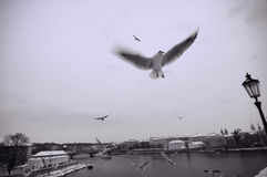 Zeemeeuwen dichtbij Charles Bridge Royalty-vrije Stock Afbeeldingen