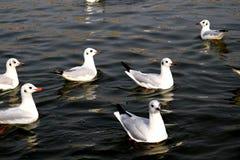 Zeemeeuwen die aan jacht varen stock foto's