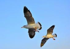 Zeemeeuwen die boven het overzees vliegen Stock Foto's