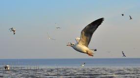 Zeemeeuwen die boven het overzees vliegen Royalty-vrije Stock Foto's