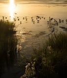 Zeemeeuwen die in de Laguna Madre zonsondergang baden Stock Foto's