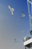 Zeemeeuwen die dichtbij de veerboot vliegen Royalty-vrije Stock Afbeeldingen