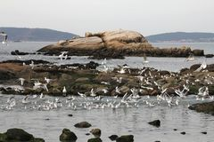 Zeemeeuwen die dichtbij het overzees vliegen, die voedsel zoeken Stock Afbeeldingen