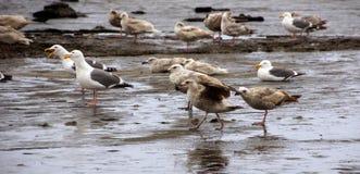 Zeemeeuwen die langs het kustzandstrand voederen Stock Afbeelding