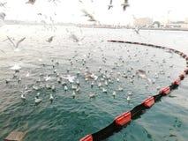 Zeemeeuwen die mooie mening over overzees voeden Stock Afbeelding
