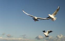 Zeemeeuwen die op de blauwe hemel vliegen stock foto's