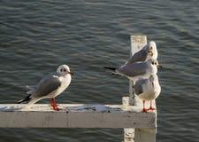 Zeemeeuwen die op de pijler zitten stock afbeelding