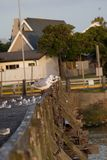Zeemeeuwen die op een rij zitten Royalty-vrije Stock Afbeelding