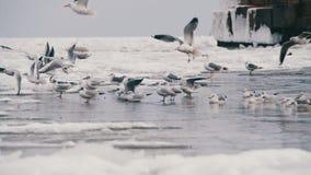 Zeemeeuwen die op het bevroren ijs-behandelde overzees zitten stock video