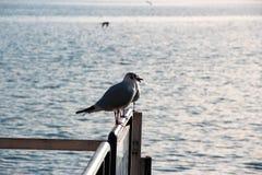 Zeemeeuwen die op het meer letten stock foto's