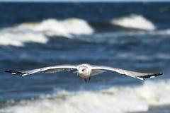 Zeemeeuwen die over blauwe overzees 1 vliegen Royalty-vrije Stock Afbeelding
