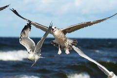 Zeemeeuwen die over blauwe overzees 3 vliegen Stock Afbeeldingen
