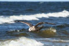 Zeemeeuwen die over blauwe overzees 2 vliegen Stock Foto's