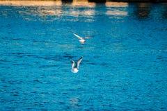 Zeemeeuwen die over de rivier in Grand Rapids Michigan vliegen royalty-vrije stock afbeelding