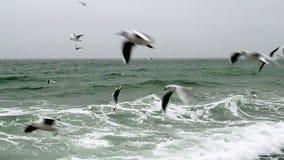 Zeemeeuwen die over het overzees vliegen stock videobeelden