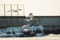 Zeemeeuwen die over het overzees vliegen Royalty-vrije Stock Afbeeldingen