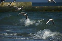 Zeemeeuwen die over het overzees vliegen Stock Foto's