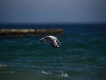 Zeemeeuwen die over het overzees vliegen Stock Foto
