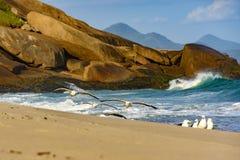 Zeemeeuwen die over het zand vliegen Stock Afbeeldingen