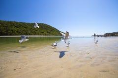 Zeemeeuwen die over strand vliegen Stock Afbeeldingen