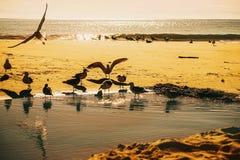 Zeemeeuwen die tijdens zonsopgang op Santa Cruz Beach, Californië spelen Royalty-vrije Stock Foto