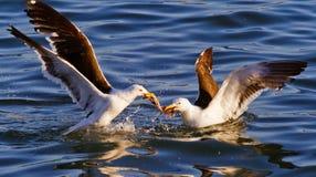 Zeemeeuwen die voor voedsel bij het overzees vechten Stock Fotografie