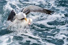 Zeemeeuwen die voor voedsel vechten stock afbeelding