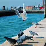Zeemeeuwen en duiven in Venetië Royalty-vrije Stock Fotografie