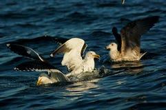 Zeemeeuwen het bekvechten Stock Foto