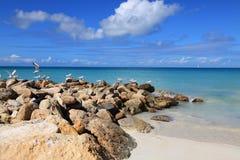 Zeemeeuwen in het Caraïbische strand Stock Foto