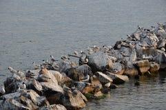Zeemeeuwen in het meer van Genève Royalty-vrije Stock Foto