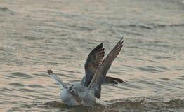 Zeemeeuwen in het overzees Stock Foto