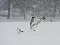 Zeemeeuwen in het sneeuwonweer Stock Foto's