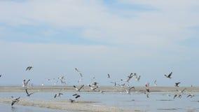Zeemeeuwen het vliegen stock footage