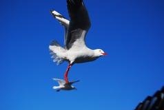 Zeemeeuwen het vliegen Royalty-vrije Stock Afbeeldingen