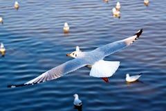 Zeemeeuwen het vliegen Royalty-vrije Stock Fotografie