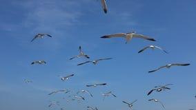 Zeemeeuwen het vliegen stock videobeelden