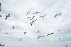 Zeemeeuwen het vliegen Stock Foto