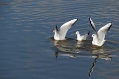 Zeemeeuwen het vliegen Stock Afbeelding