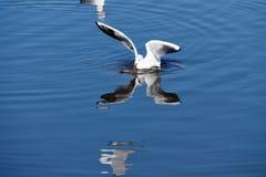 Zeemeeuwen het vliegen Stock Foto's