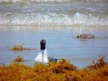 Zeemeeuwen in het zeewier Stock Afbeeldingen