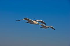 Zeemeeuwen in lage vlucht over het overzees dichtbij Thassos-eiland Stock Foto's