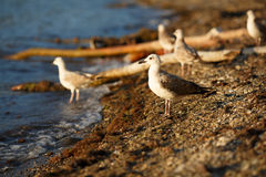Zeemeeuwen op de kust Royalty-vrije Stock Foto