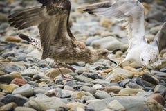 Zeemeeuwen op de kust onder de stenen Royalty-vrije Stock Afbeelding