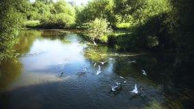Zeemeeuwen op de oppervlakte van de rivier stock video