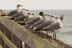 Zeemeeuwen op de pijler stock afbeelding