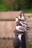 Zeemeeuwen op de waterkant Stock Foto
