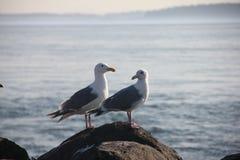 Zeemeeuwen op een rots Stock Foto's