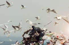 Zeemeeuwen op een stortplaats Stock Afbeeldingen